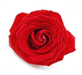 Single Head Roses