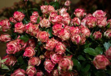 Red Floribunda Roses