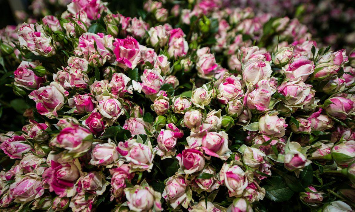 White Floribunda Roses
