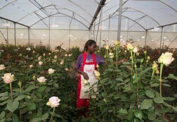 Floribunda Garden Plants